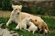 Lioness nurse