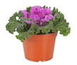 Decorative Purple Kale or cabbage