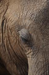 Fragment of large male elephant