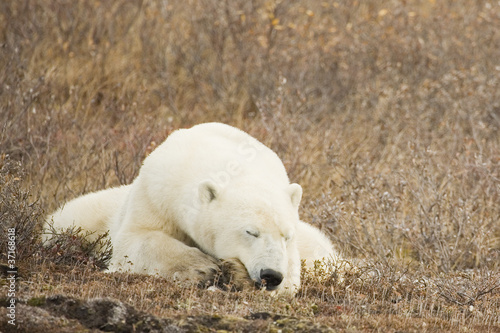 Aluminium Ijsbeer Sleeping Polar Bear