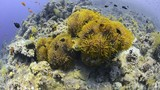 Colony of Magnificent Anemones