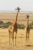 Giraffes on the Masai Mara in Southwestern Kenya poster