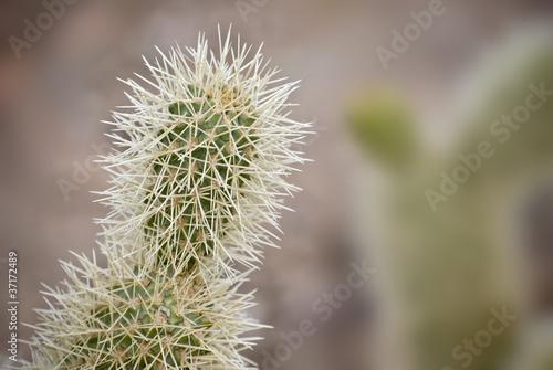 Cholla cactus pods