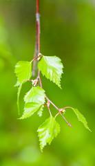Spring, birch