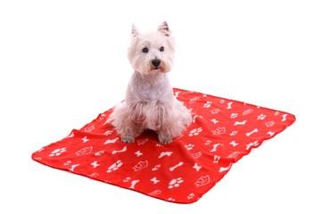 Hund Westie sitzend auf Decke