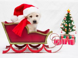 Christmas - cute labrador puppy in Christmas sledge