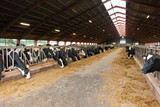Modern farm cowshed with cows