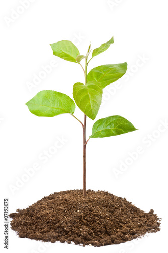 Green sapling of apple tree