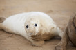 Inquisitive Grey Seal Pup At Donna Nook