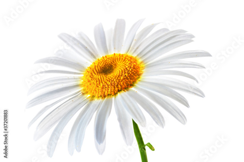lovely chamomile