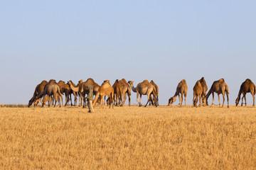 Camels herd in desert