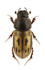 Aphodius melanostictus