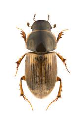 Aphodius prodromus