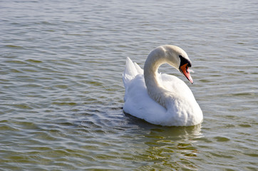Swan floating on water. Free bird closeup.