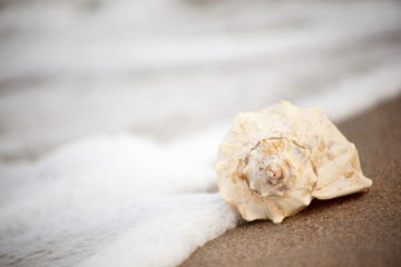 Conch shell on Virginia beach