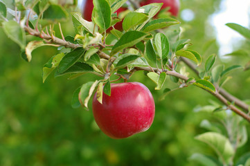 Ripe Red Apple on Tree
