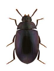 Platydema violaceum
