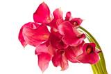 Red Flower Calla