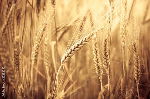 Wheat Ears - 37232282