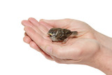 sparrow chick baby yellow-beaked in male hands poster