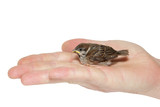 sparrow chick baby yellow-beaked in male hand poster