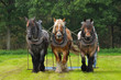 Three Belgian Heavy Horses