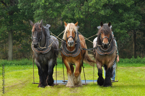 Three Belgian Heavy Horses
