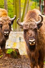 European bison family