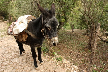 donkey with heavy cargo in olive orchard