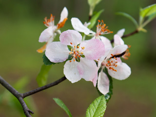 apple blossom opens wide