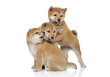 Shiba inu puppies playing