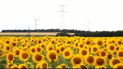 Sonnenblumenfeld mit Windkraftwerke und Strommasten