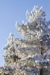 Tree frozen  pine coniferous
