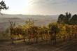 vines at sunset light