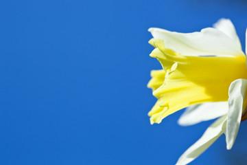 flower[narcissus]_02