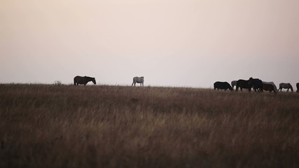 Horses in steppe early in the morning