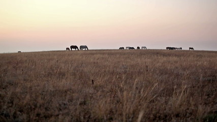 Horses slowly go on steppe