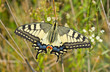Old World Swallowtail butterfly in its habitat.