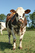 animal ferme vache 106
