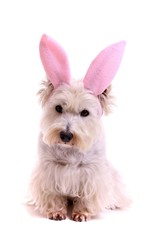 sitzender Hund Westie als Bunny
