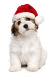 Fototapety Cute Christmas havanese puppy dog