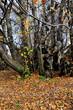 """Ancient """"Tree of One Hundred Horses"""", Catania"""