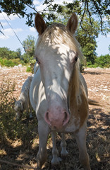 Portrait of a piebald mare.