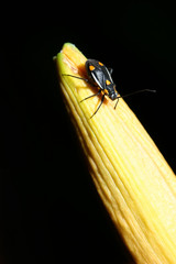 Yellow spotted black beetle