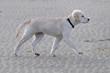 Chiot golden retriever trottant sur la plage