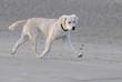 Jeune golden retriever courant sur le sable
