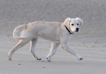 Chiot golden trottant sur la plage