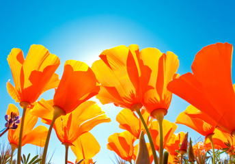 Field of Flowers with Blue Sky, Macro View