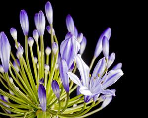 Close up image of purple agapanthus flower