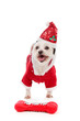 Dog wearing Santa Claus costume